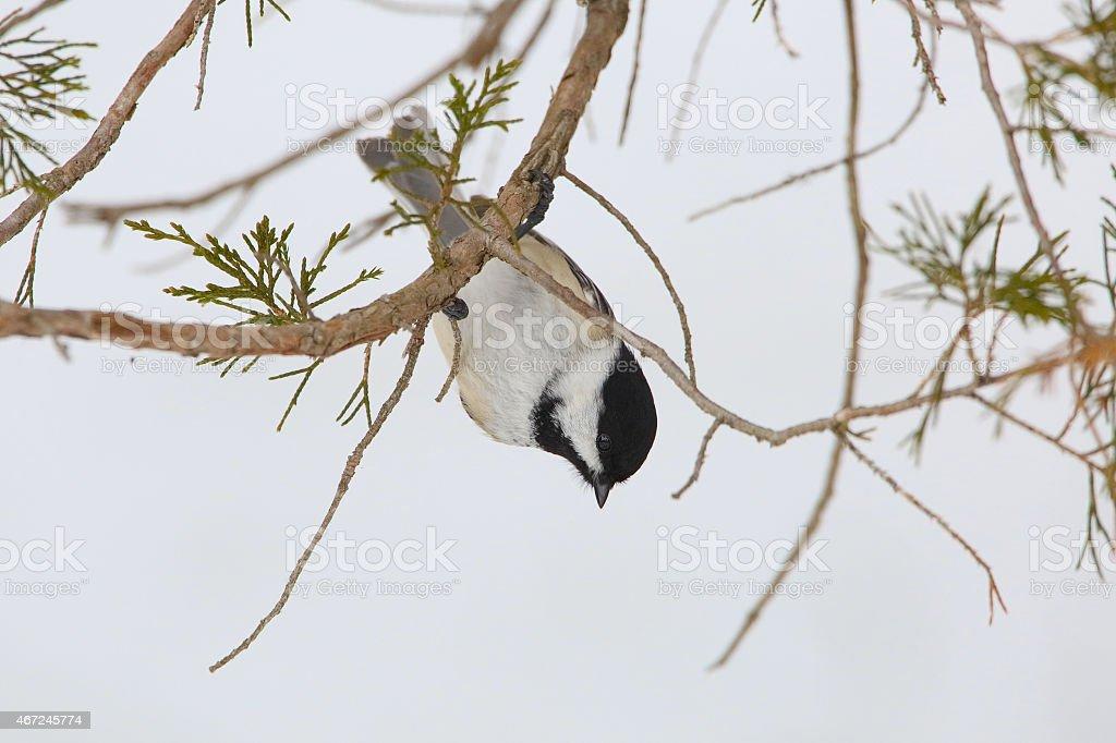 Black-capped Chickadee Hanging Upside Down stock photo