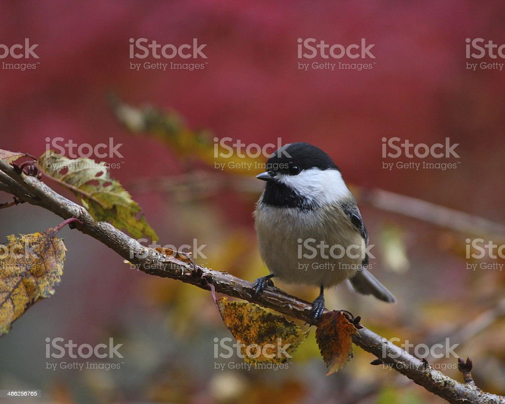 Black-capped Chickadee in Fall stock photo