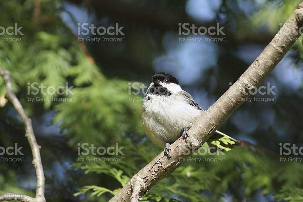 Black-capped Chickadee on branch stock photo