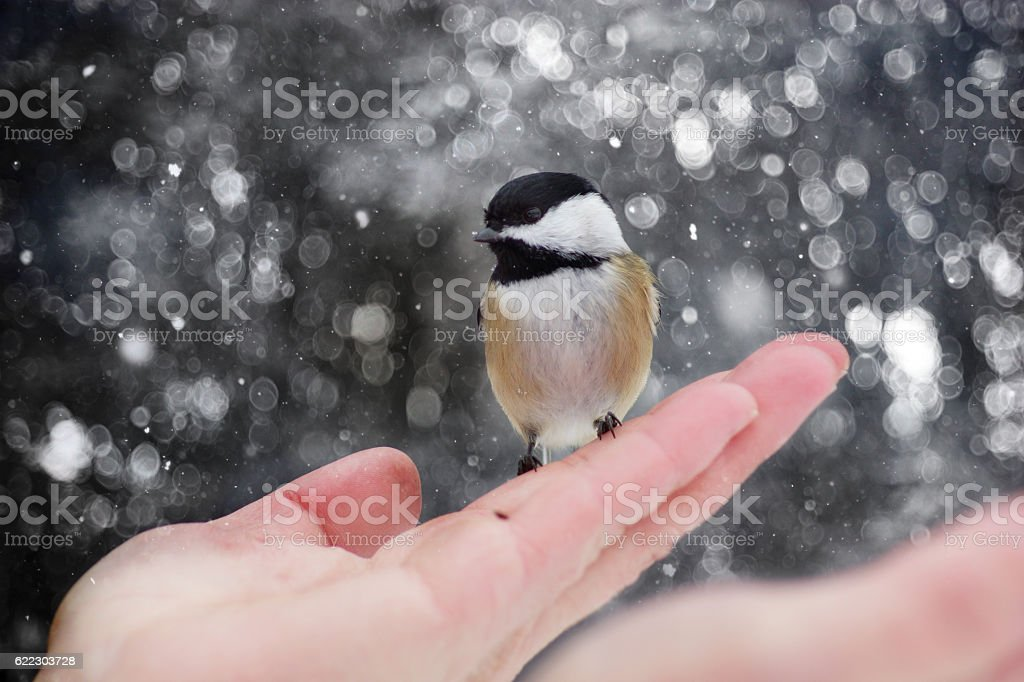 Black-capped Chickadee on hand, snowing background stock photo