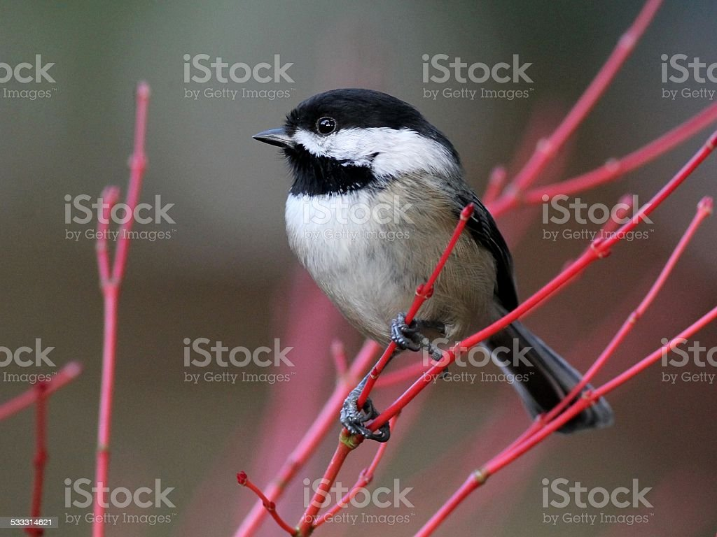 Black-capped Chickadee Perched on Red Branches stock photo