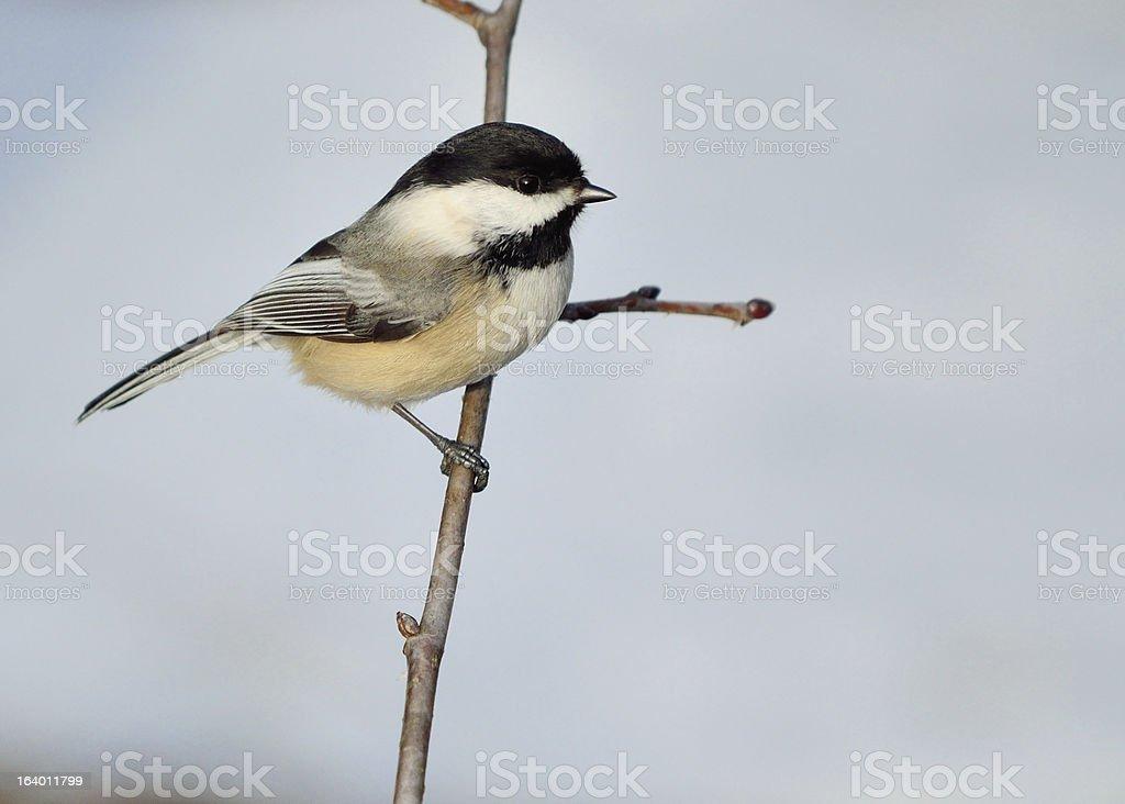Black-capped Chickadee royalty-free stock photo