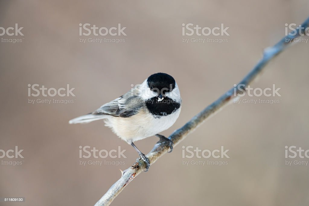 Black-capped Chickadee, Poecile Atricapellus, eating stock photo