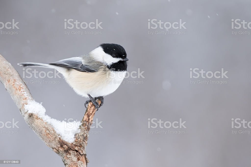 Black-capped Chickadee, Poecile Atricapillus stock photo