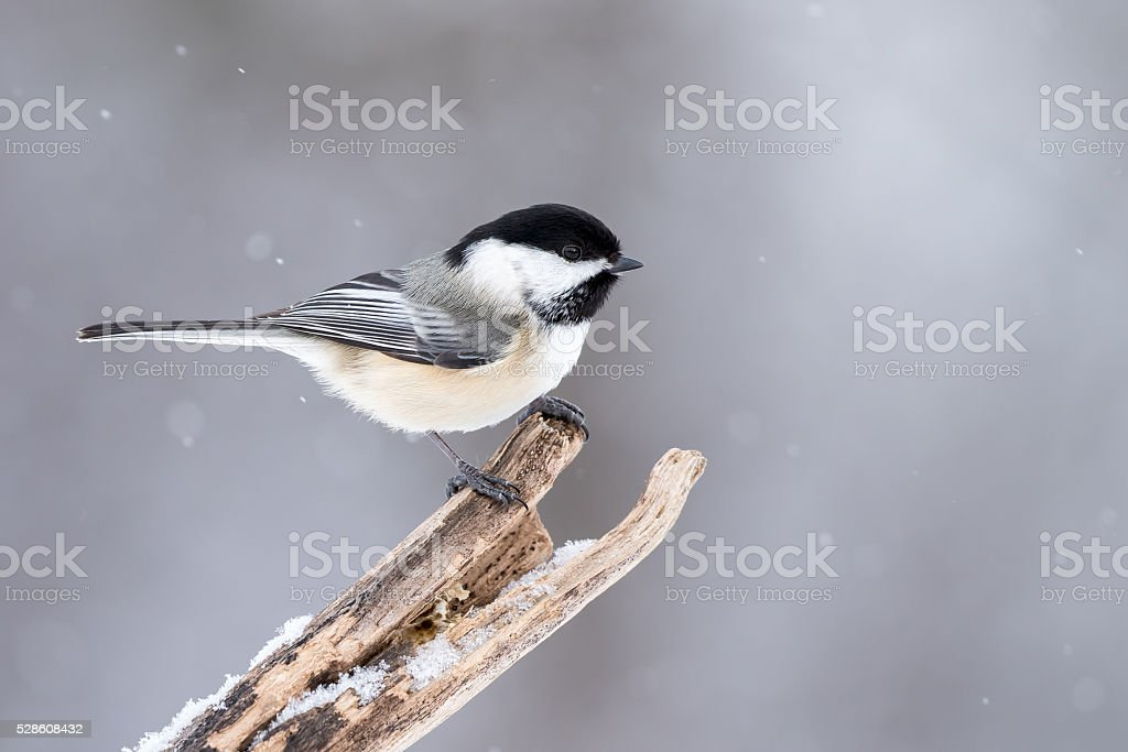Black-capped Chickadee - Poecile atricapillus stock photo