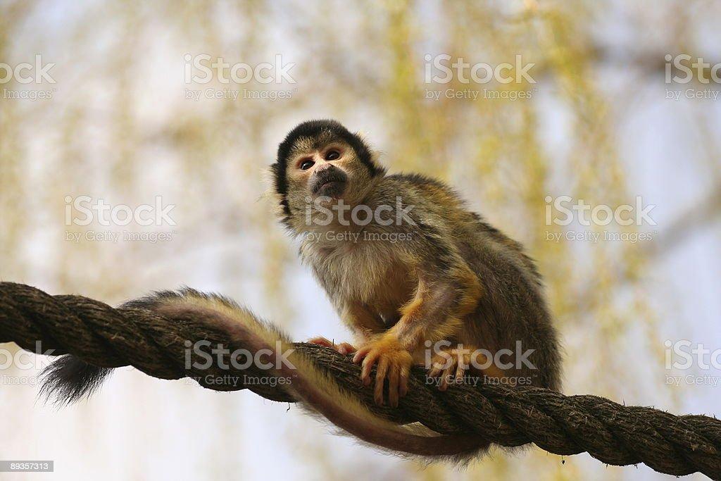 Black-capped Squirrel Monkey (Saimiri boliviensison) sitting on rope royalty-free stock photo