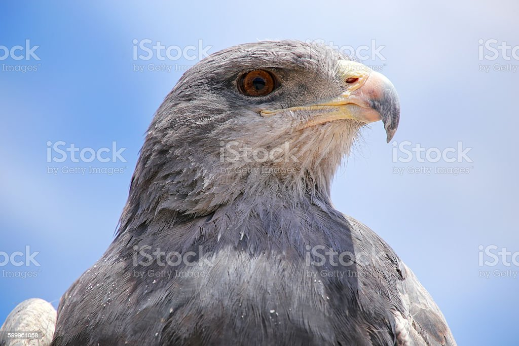 Black-chested buzzard-eagle at the market in Maca, Colca Canyon, stock photo