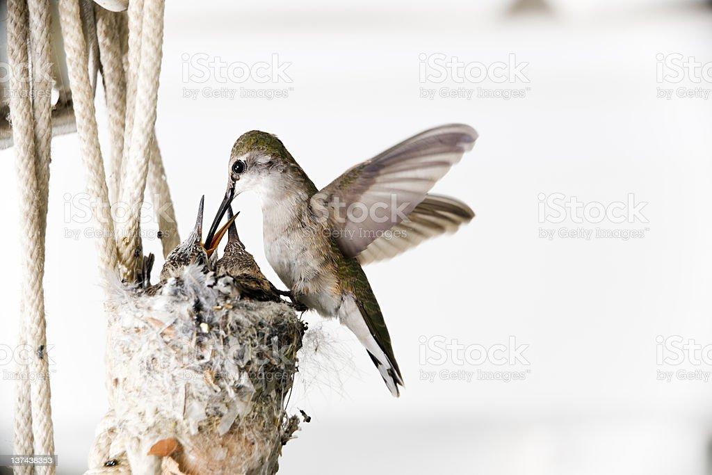 Black-chinned Hummingbird Feeding Young royalty-free stock photo