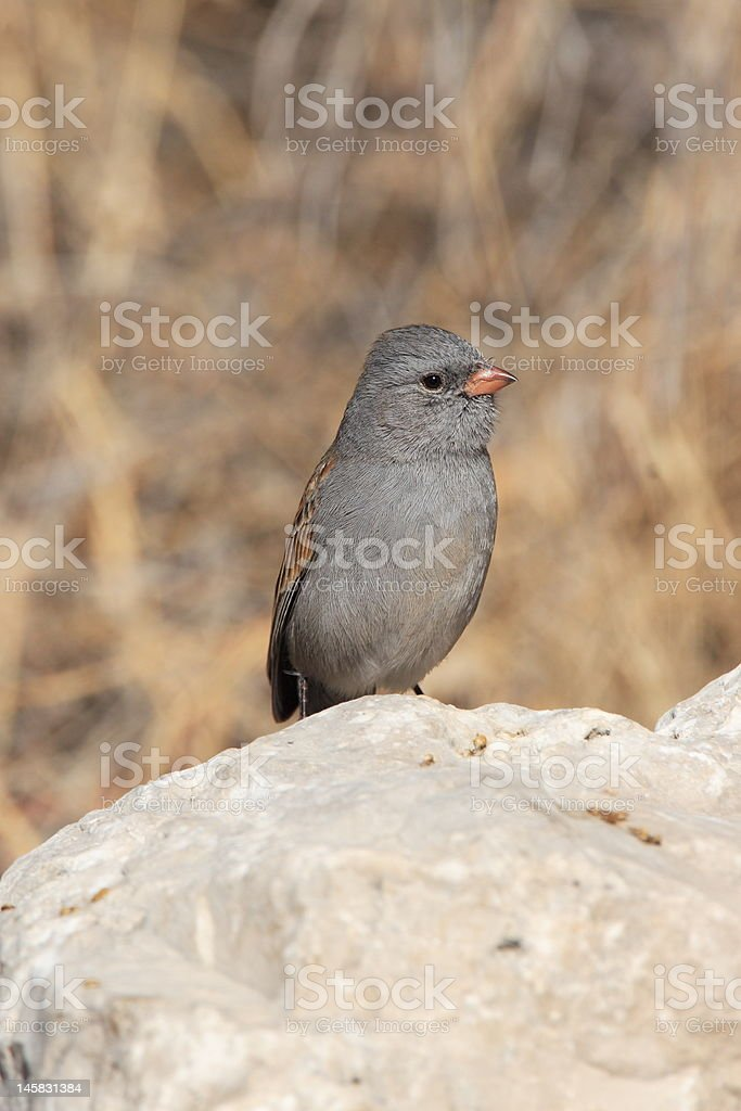 Black-chinned Sparrow stock photo