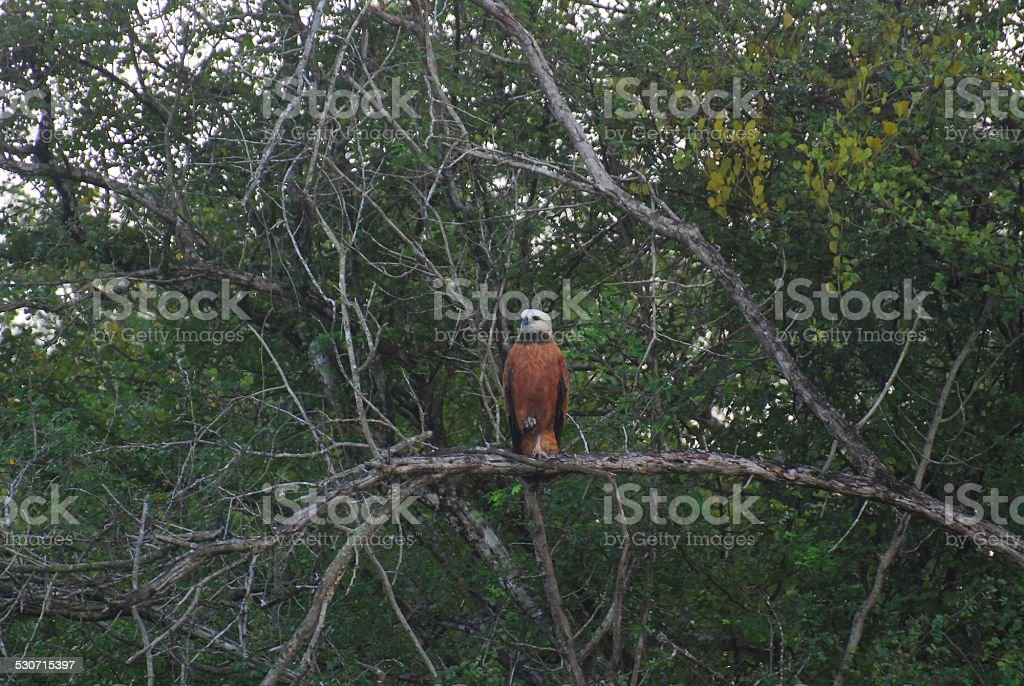 Black-Collared Hawk at Crooked Tree royalty-free stock photo