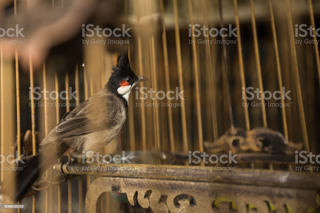 Black-crested Bulbul Old Wood Birdcage Hang Day stock photo