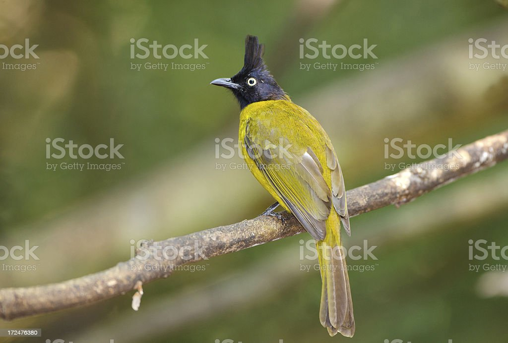 Black-crested Bulbul - Thailand stock photo