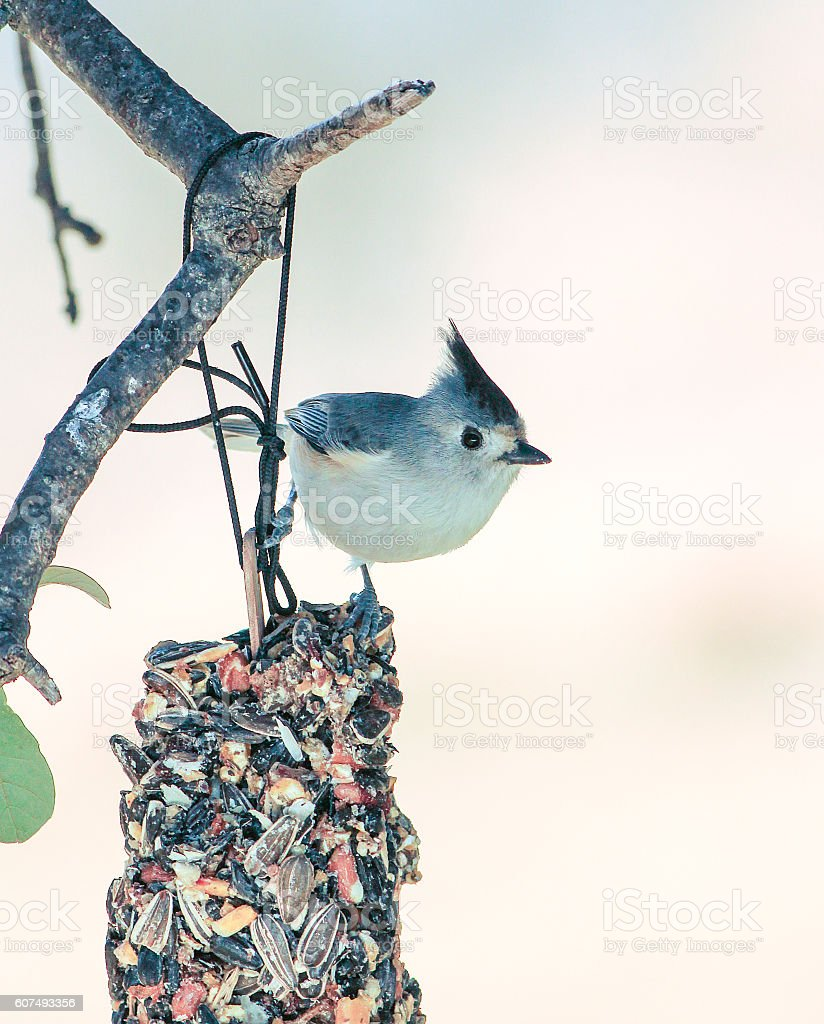 Black-crested Titmouse Feeding stock photo