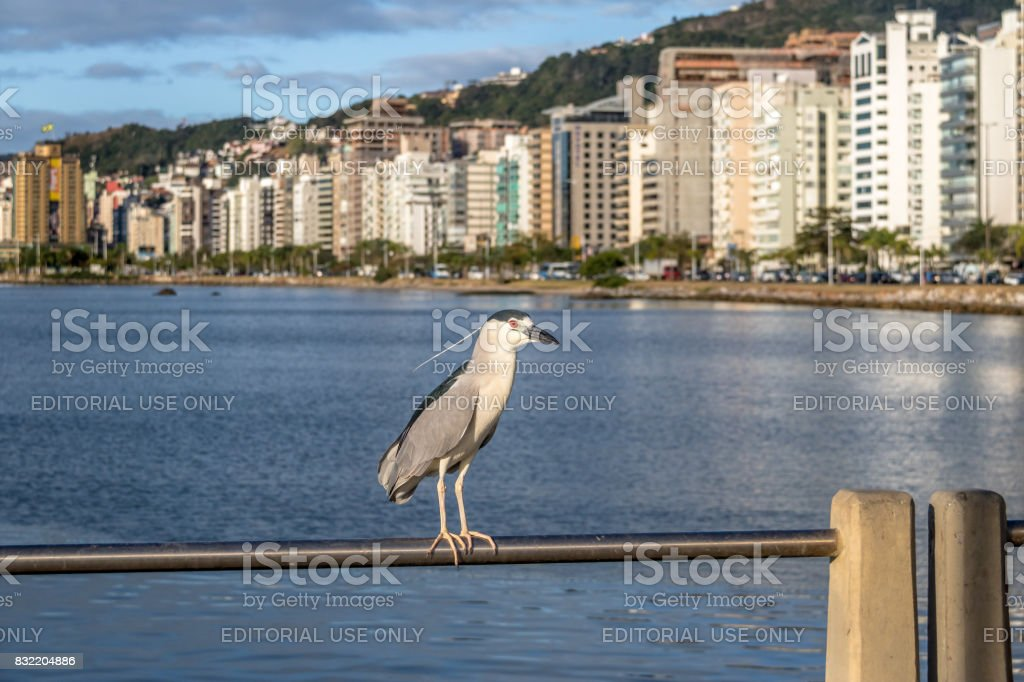 Black-crowned Night Heron and city view - Florianopolis, Santa Catarina, Brazil stock photo
