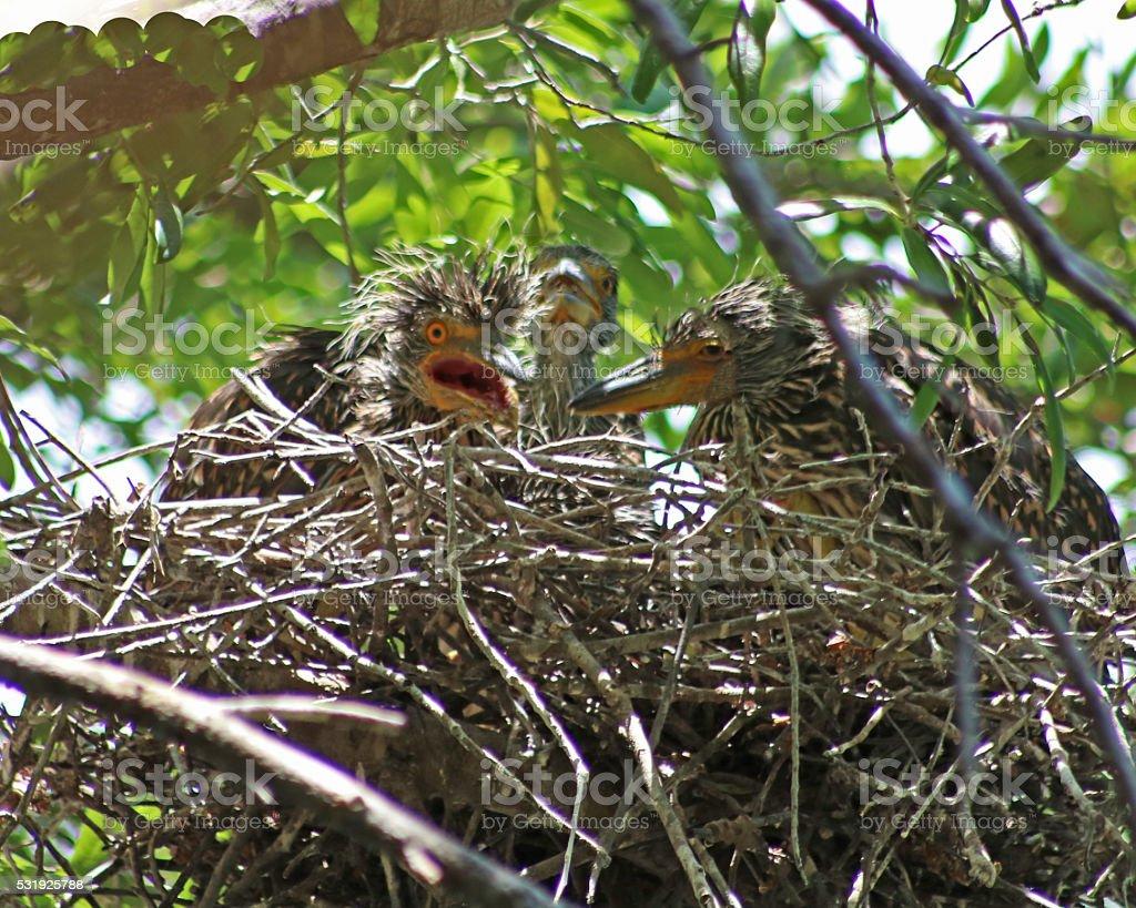 Noir couronne Bihoreau bébé dans le nid photo libre de droits