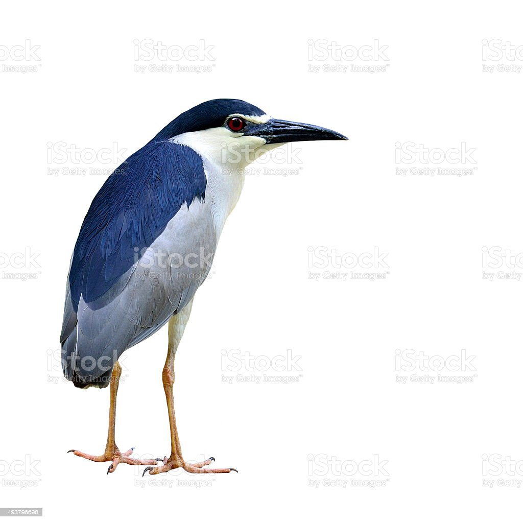 Black-crowned Night Heron bird standing on ground isolated on wh stock photo