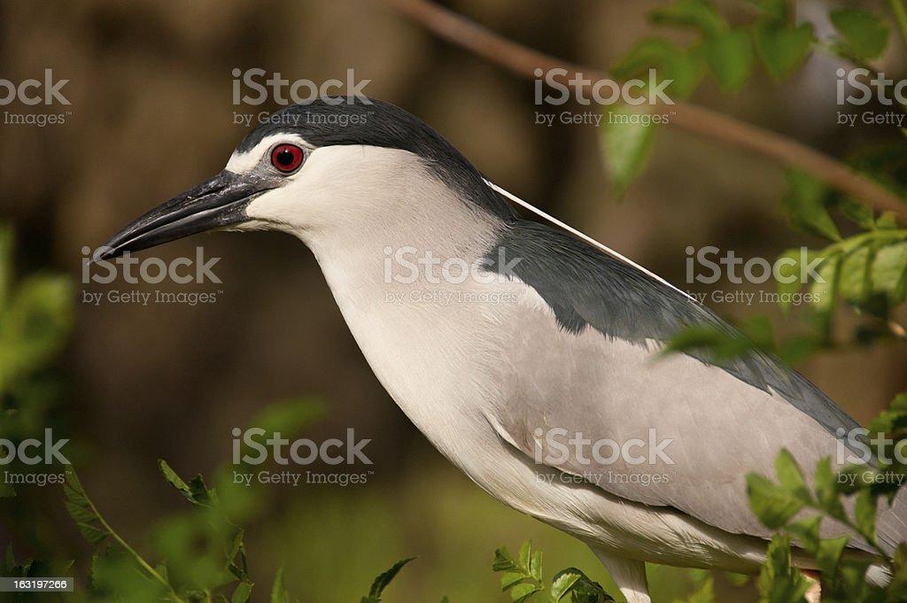 Black-Crowned Night Heron close-up royalty-free stock photo