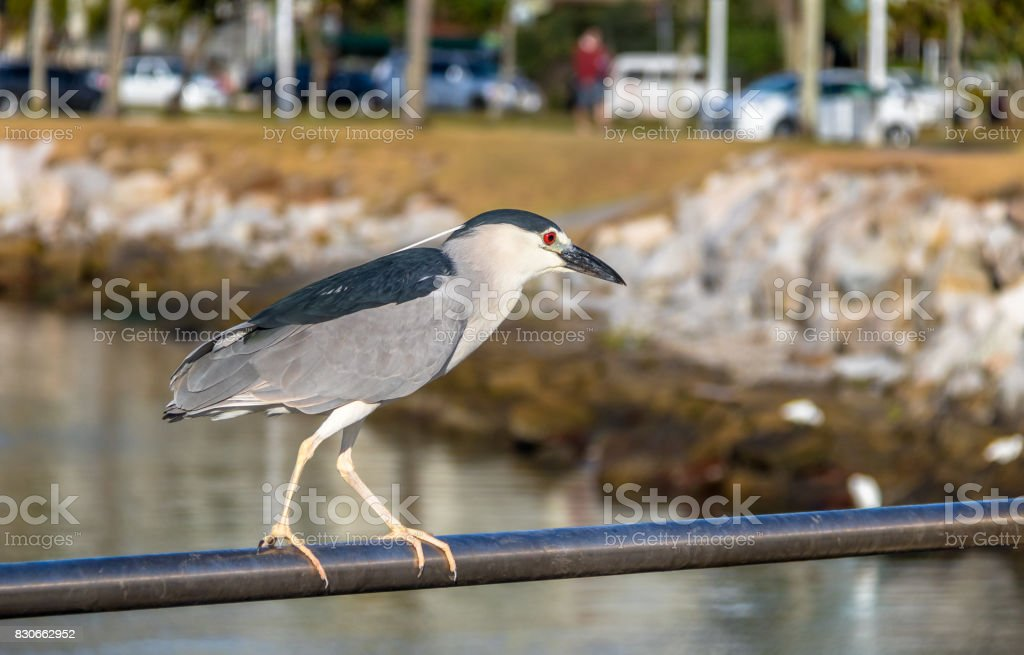 Black-crowned Night Heron - Florianopolis, Santa Catarina, Brazil stock photo