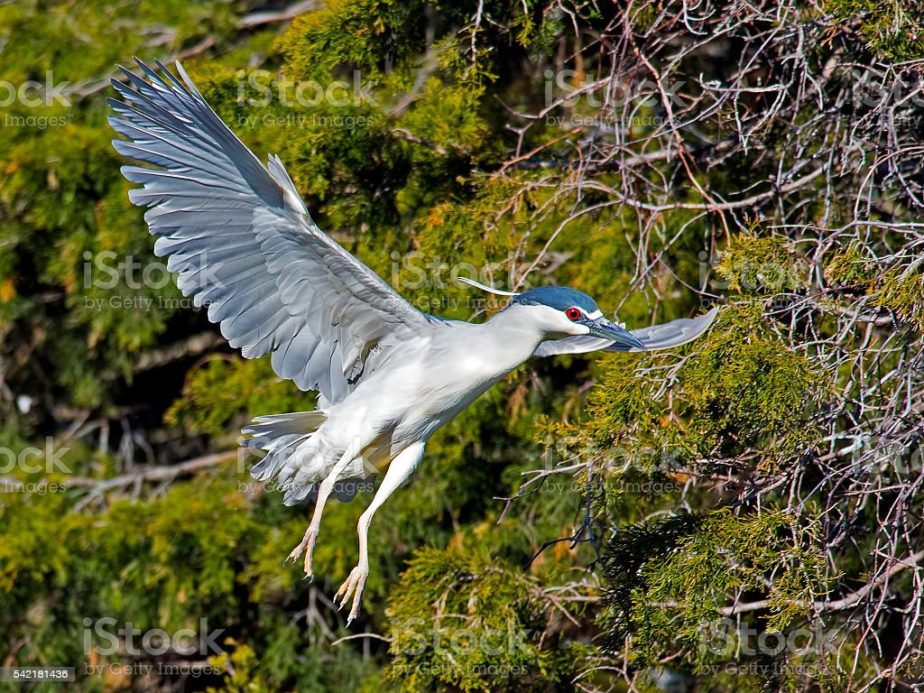 Black-crowned Night Heron in Flight stock photo