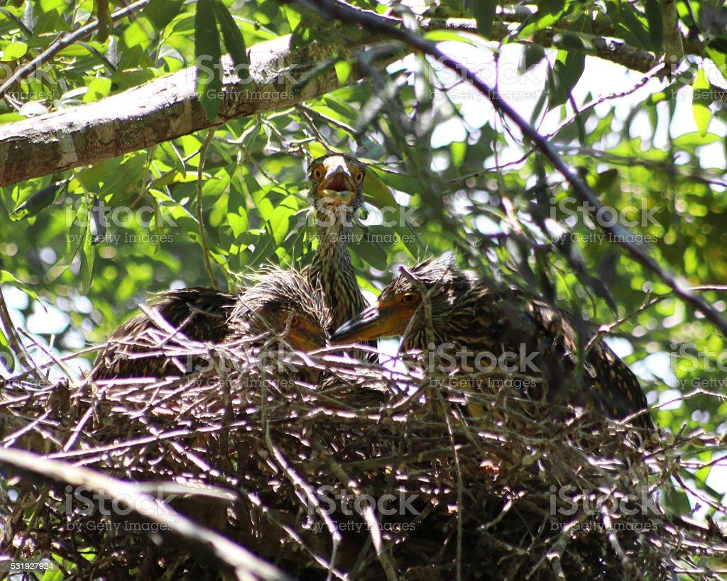 Noir couronne Bihoreau juvéniles photo libre de droits