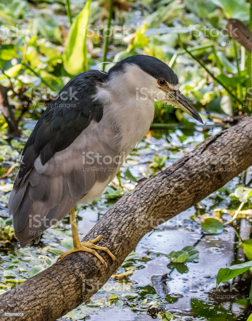 Black-Crowned Night Heron on a Branch stock photo