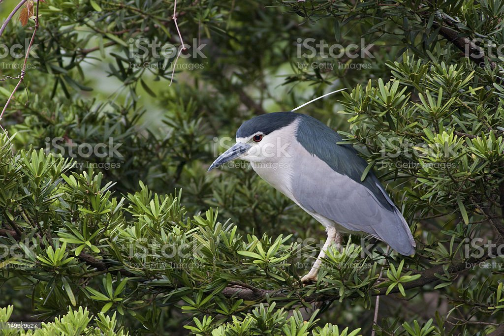Black-crowned Night Heron royalty-free stock photo