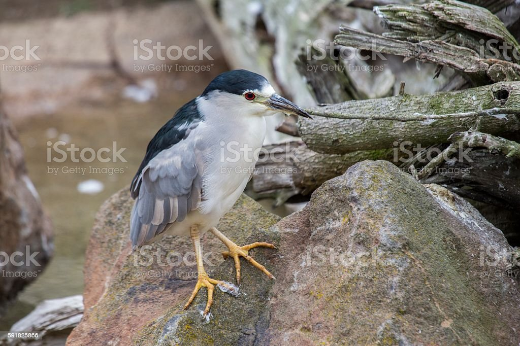 Black-Crowned Night Heron (Nycticorax nycticorax) stock photo
