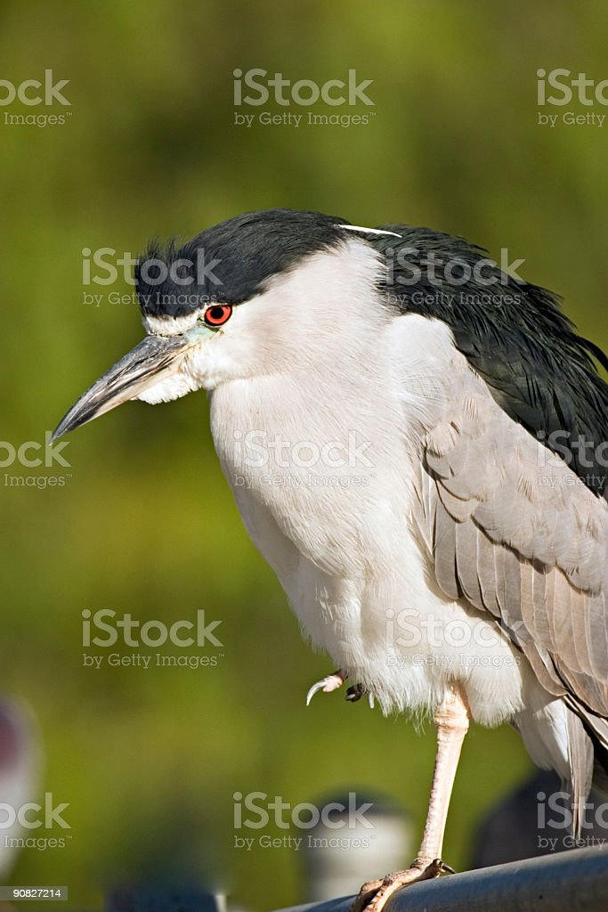 Black-Crowned Night Heron stock photo