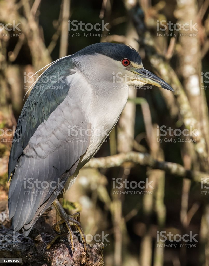 Black-Crowned Night Heron Profile stock photo