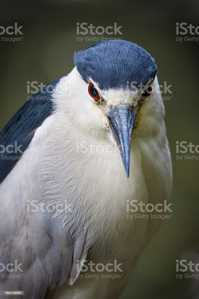 Black-crowned night-heron in Jamaica Bay, Queens, NY stock photo