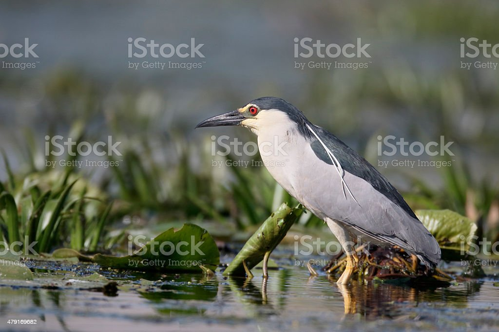 Black-crowned night-heron, Nycticorax nycticorax stock photo