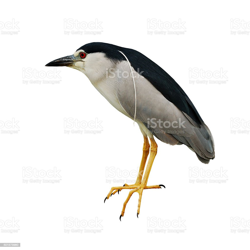 Black-crowned Night-Heron stock photo