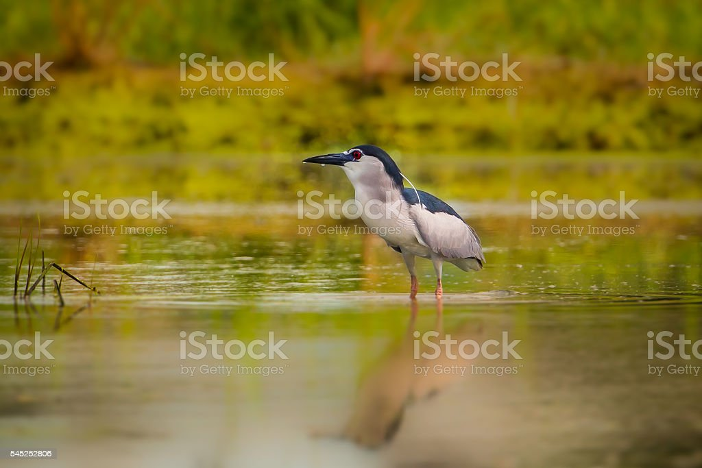 Black-crowned Night-heron(Nycticorax nycticorax ) stock photo