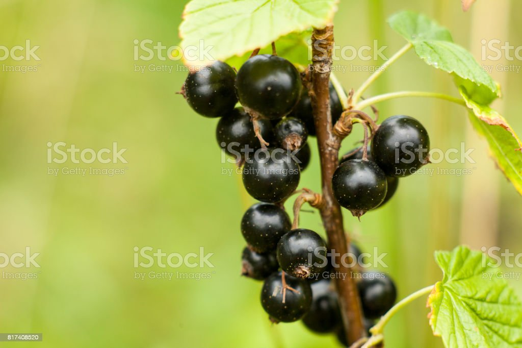 Blackcurrant fruit on the bush. Harvest of ripe fluffy blackcurrant. Black fruits on a green background. stock photo