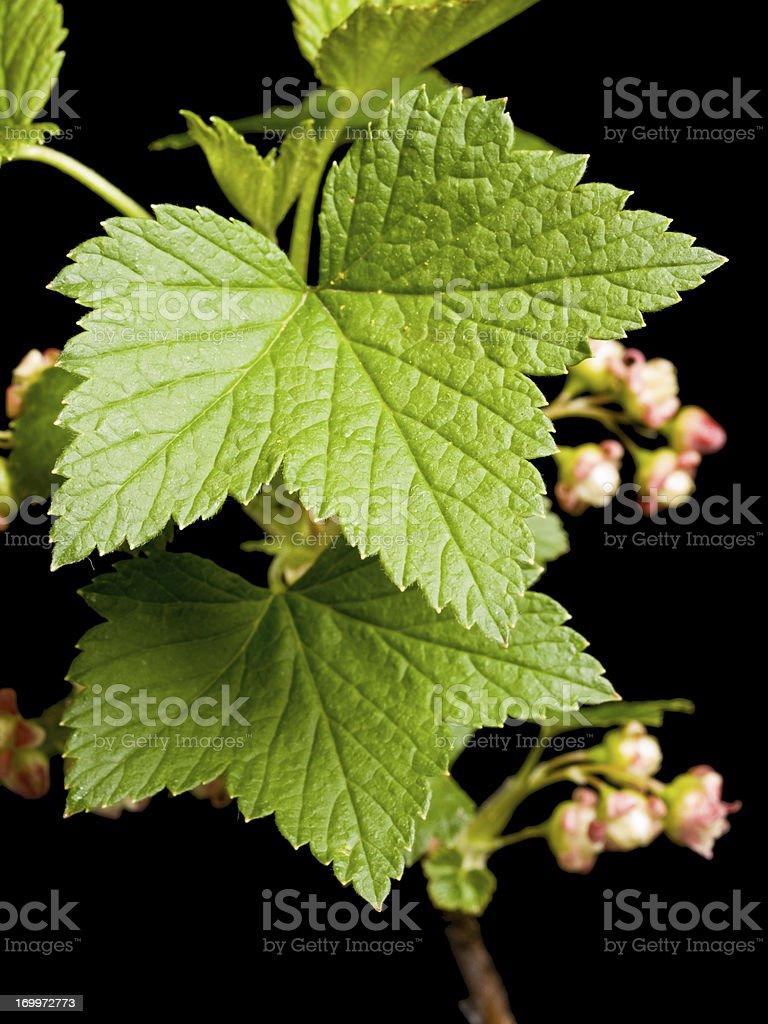 Blackcurrant stock photo