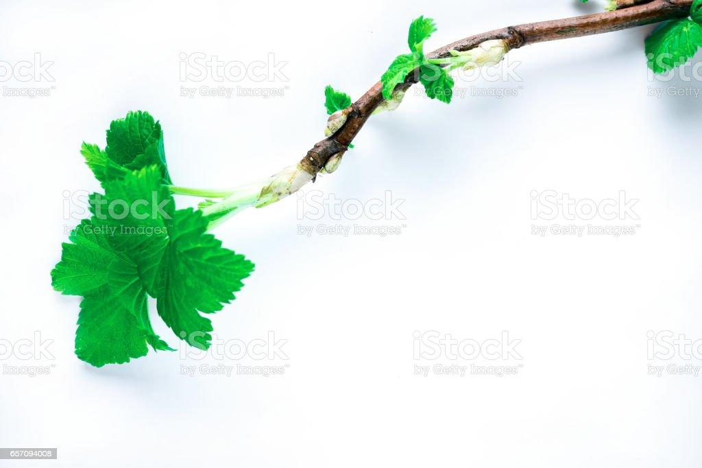 Blackcurrant twig isolated stock photo