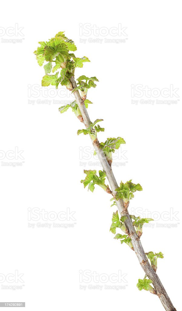 Blackcurrant twig with fresh leaves royalty-free stock photo
