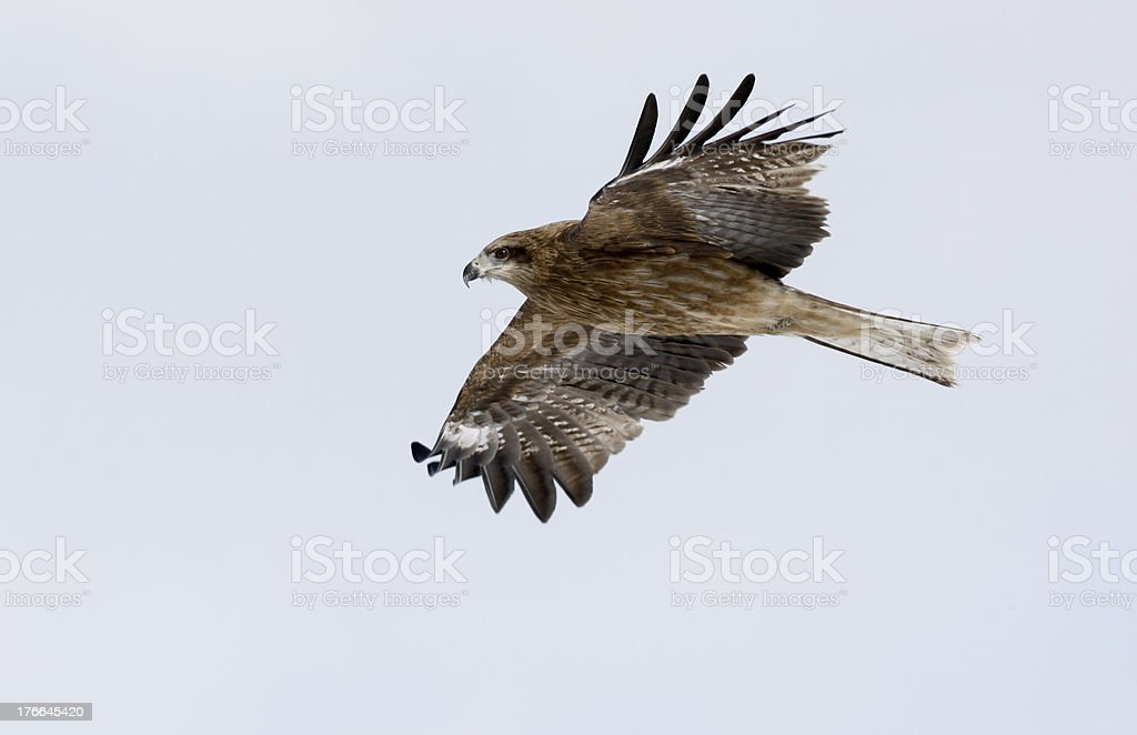 Black-eared kite, Milvus lineatus royalty-free stock photo