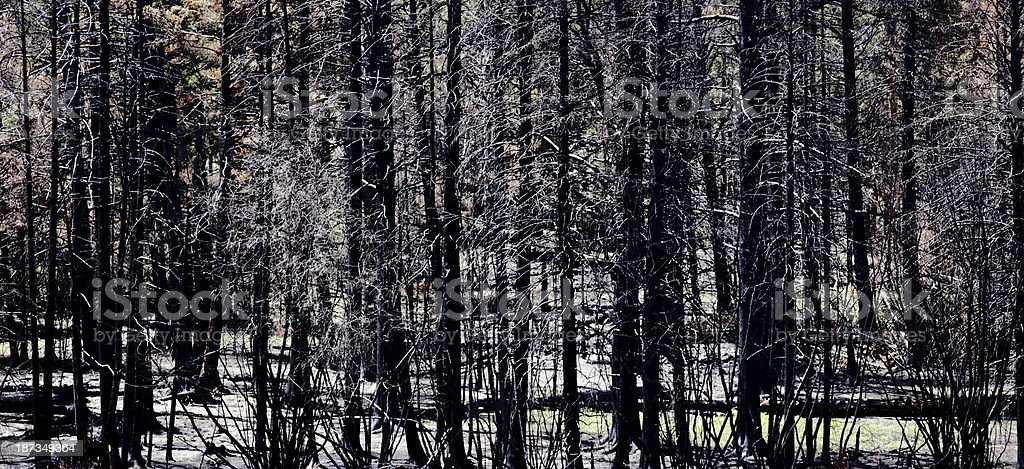 Blackened Forest After Fire stock photo