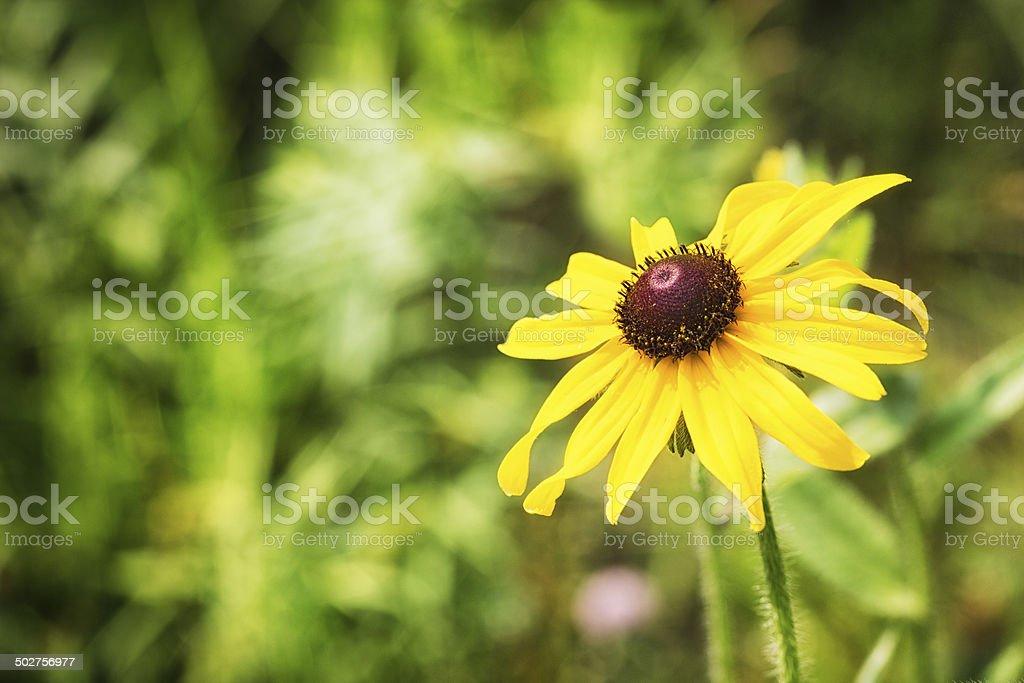 Black-eyed Susan bloom royalty-free stock photo
