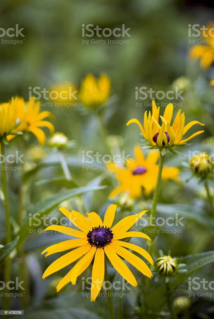 Black-Eyed Susan Collection stock photo
