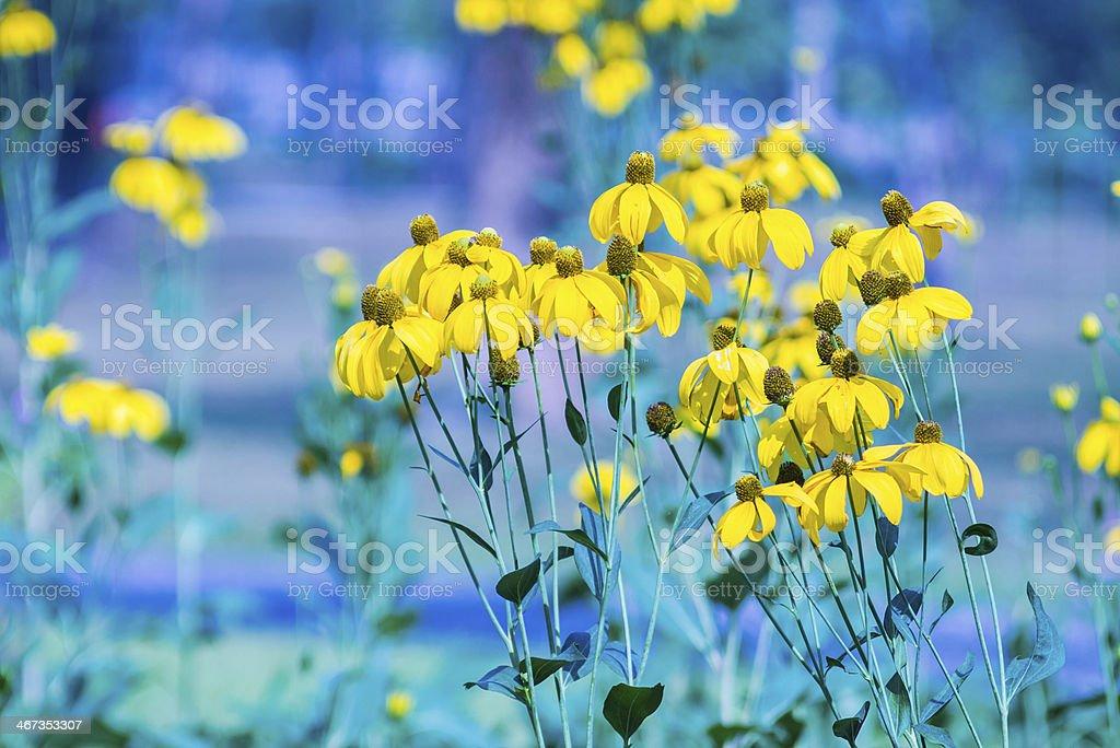 Black-eyed susan flower stock photo