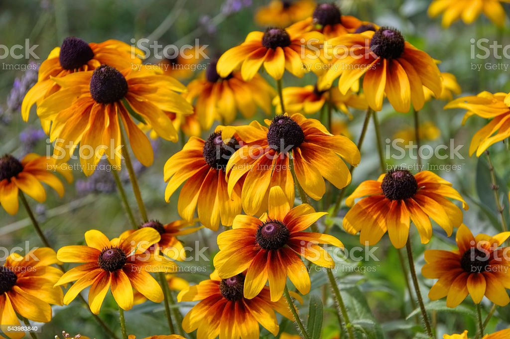 black-eyed Susan flower stock photo