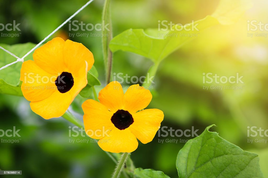 Black-eyed susan in field plant. stock photo