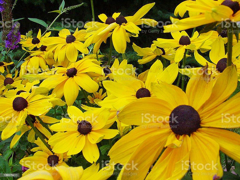 Black-eyed Susan royalty-free stock photo