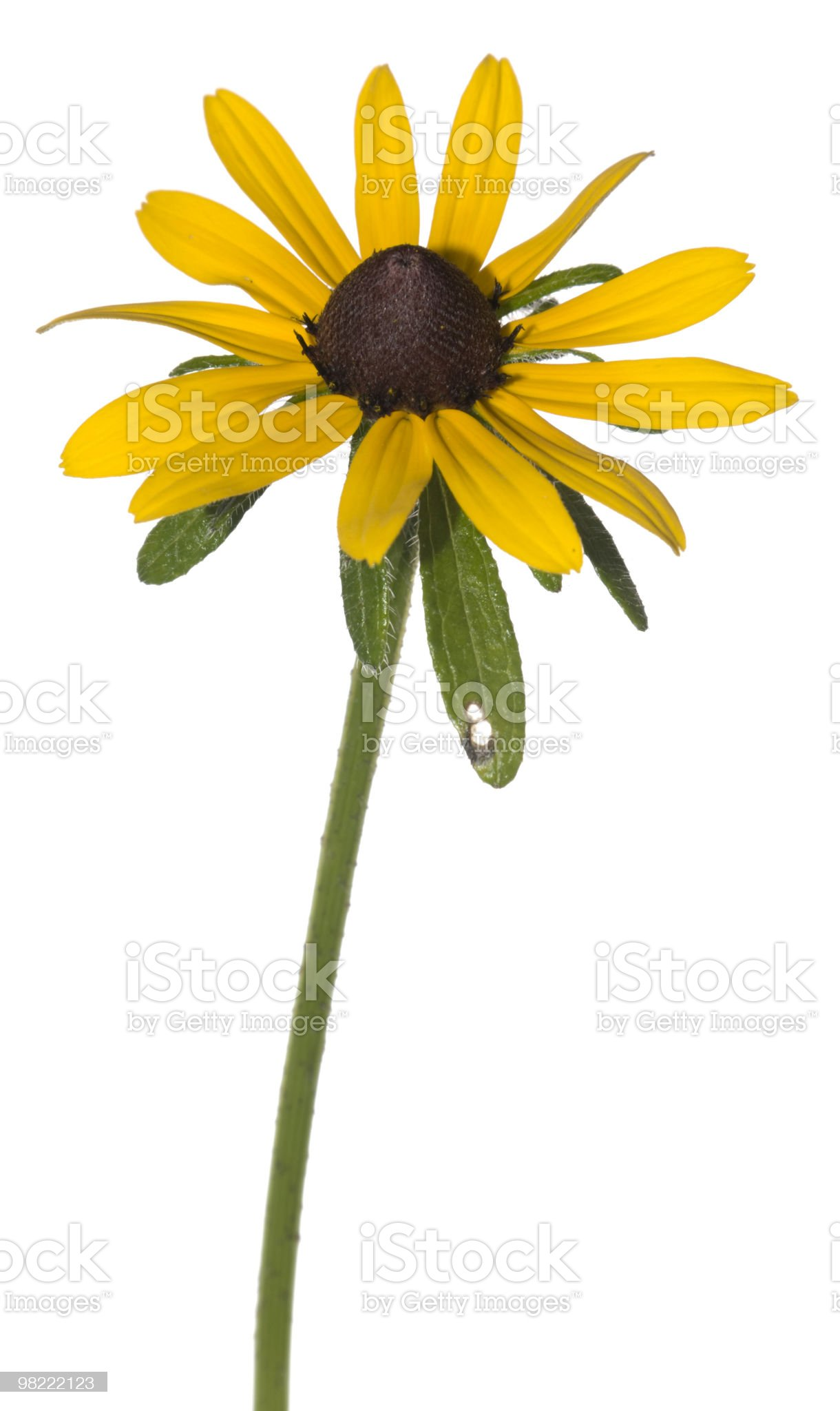 Black-eyed Susan royalty-free stock photo