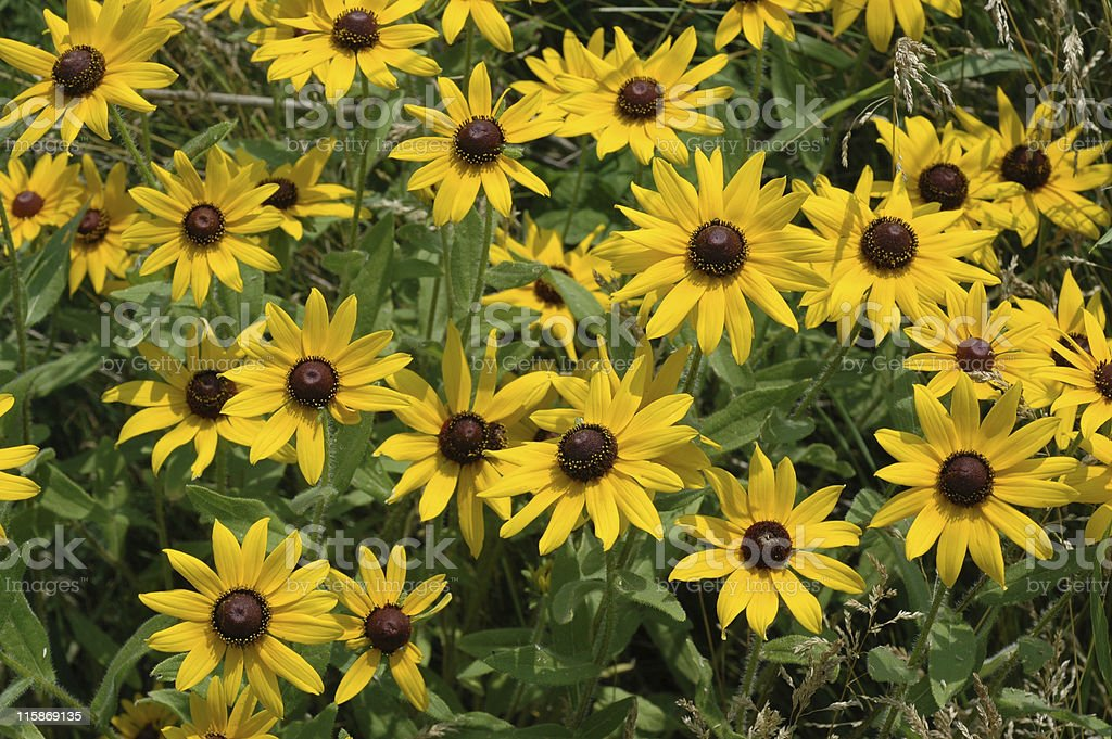 black-eyed Susan, Rudbeckia hirta royalty-free stock photo
