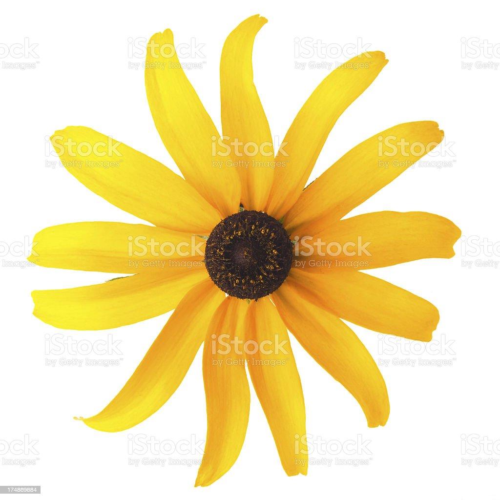 Black-eyed susan single flower isolated on white royalty-free stock photo