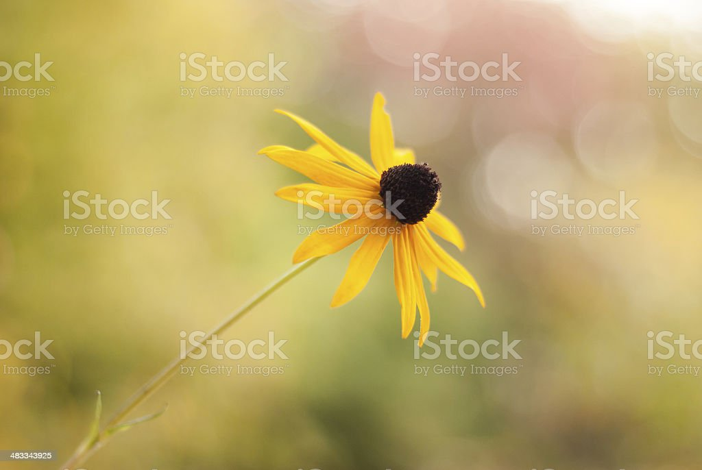 Black-Eyed Susan Soft and Shallow - Side View stock photo