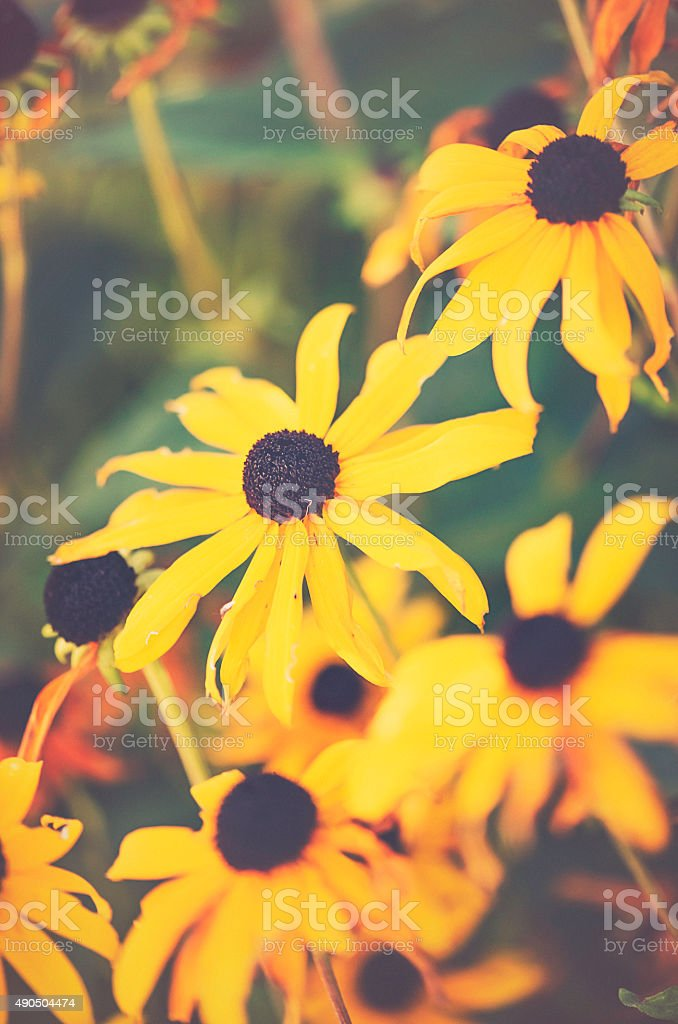 Black-eyed Susan wildflowers at end of season stock photo